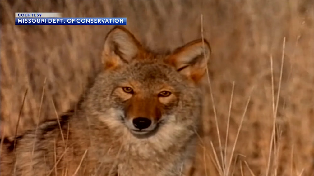 Photo of a coyote in a field courtesy of the Missouri Department of Conservation.