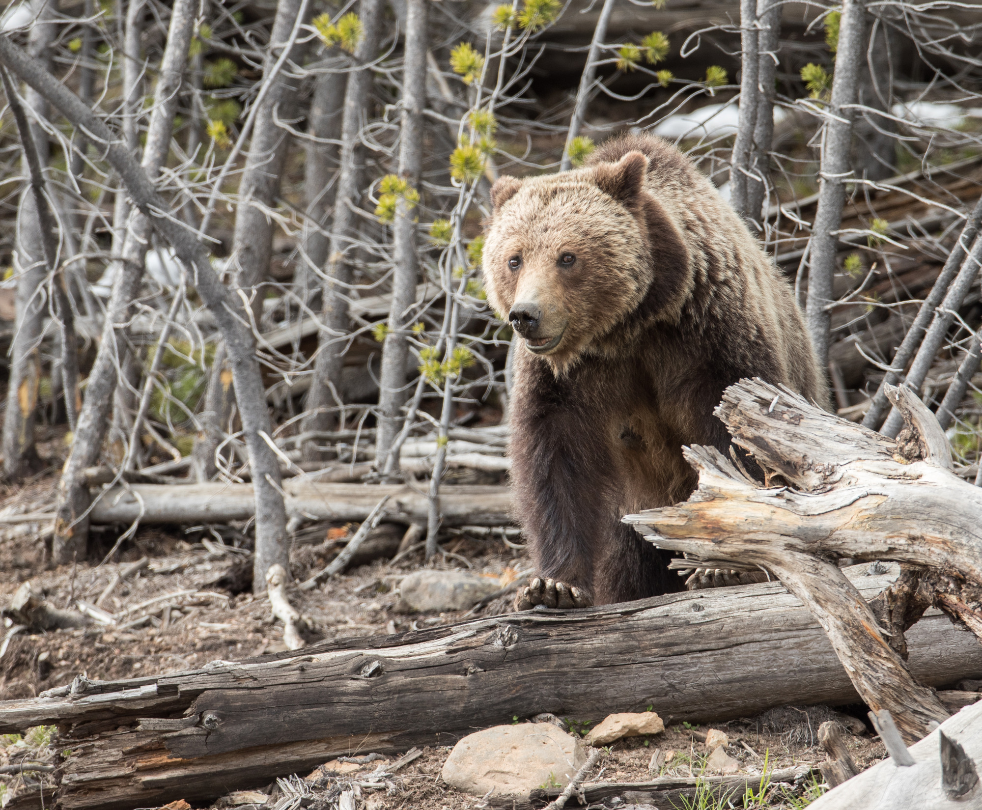 Grizzly at Yellowstone