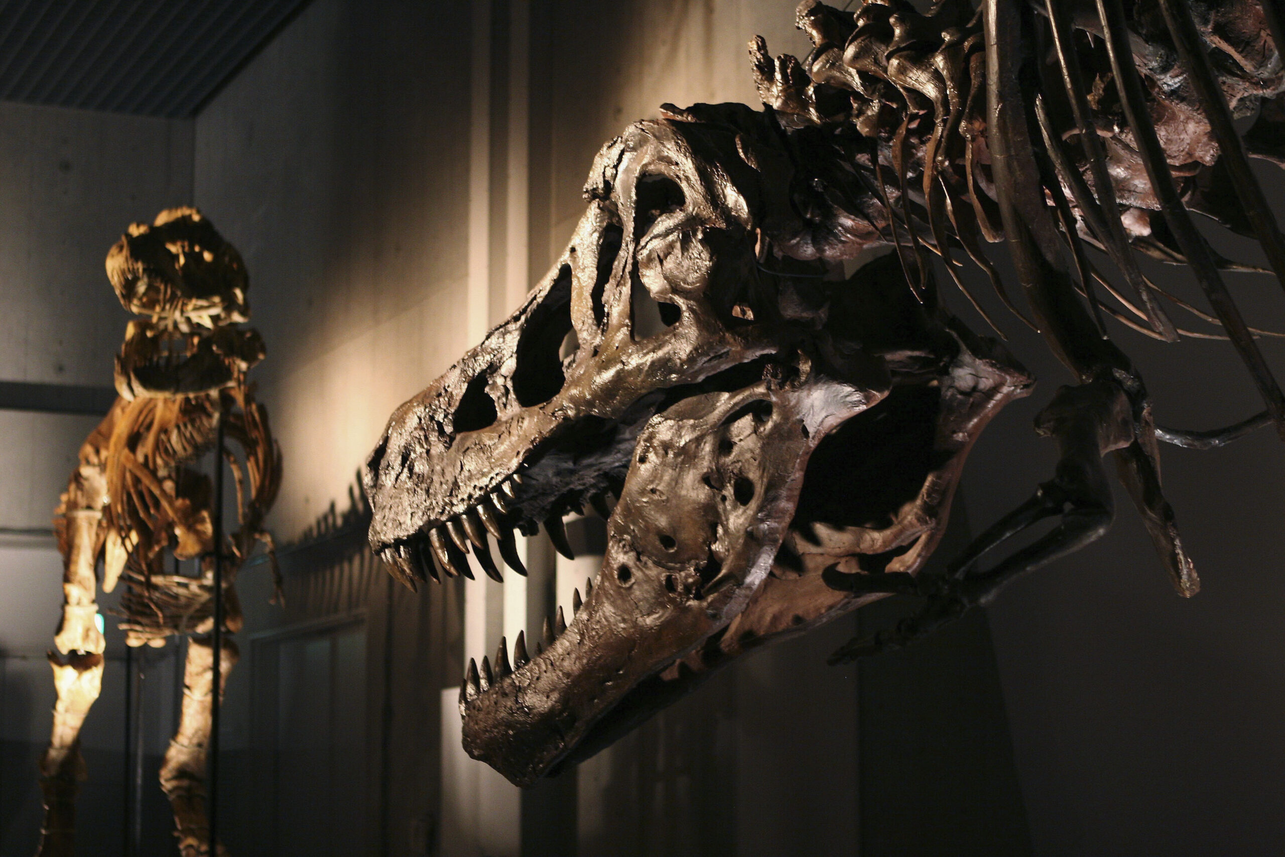 <i>Koichi Kamoshida/Getty Images</i><br/>The lower jaw of SUE the T. rex is pitted with holes. Experts believe they were the result of a parasitic infection.