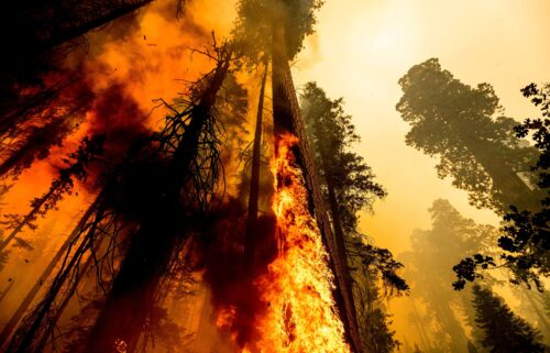 Flames lick up a tree as the Windy Fire burns in the Trail of 100 Giants grove in Sequoia National Forest