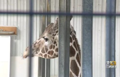 The Plumpton Park Zoo announced that one of the zoo's main attractions